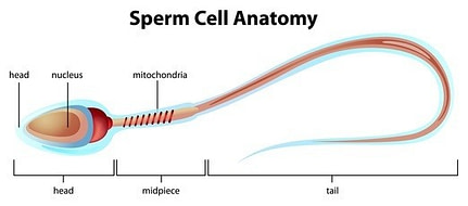 Sperm health can be helped using natural fertility support